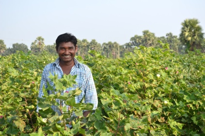 Cotton Crops in Bhadrachalam